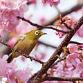 Japanese White-eye On Cherry Blossoms Print by David A. LaSpina