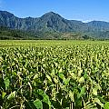 Kauai, Wet Taro Farm Poster by Himani - Printscapes