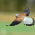 Kestrel Bird Print by mark hughes