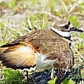 Killdeer Feigns Broken Wing Poster by Lynda Dawson-Youngclaus