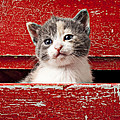 Kitten in red drawer Poster by Garry Gay