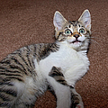 Kitten Laying On Carpet Poster by CasaBlanca Images