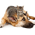 Kitten laying on German Shepherd Print by Susan  Schmitz
