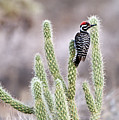 Ladder Backed Woodpecker Resting On Ganders Cholla Print by Photo by Patricia Ware