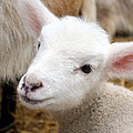 Lamb Print by Michelle Calkins
