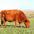 Landscape With Cow Grazing In The Field . 7D9933 Poster by Wingsdomain Art and Photography