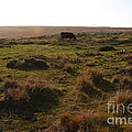 Landscape With Cow Grazing In The Field . 7D9935 Poster by Wingsdomain Art and Photography