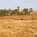 Landscape With Cows Grazing In The Field . 7D9957 Print by Wingsdomain Art and Photography