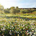 Landscape with Daisies Poster by Carlos Caetano