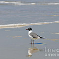 Laughing Gull Reflecting Poster by Al Powell Photography USA