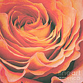 Le petale de rose Poster by Angela Doelling AD DESIGN Photo and PhotoArt