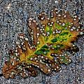 Leaf on the Sidewalk Print by Robert Ullmann