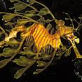 Leafy Seadragon, Off Kangaroo Island Print by James Forte