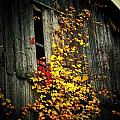 Leaves on an Old Barn Poster by Joyce  Kimble