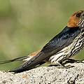 Lesser Striped Swallow Poster by Peter Chadwick