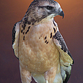 Light morph immature Swainsons Hawk Poster by Ernie Echols