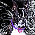 lil Angels Boston Terrier Print by Tisha McGee