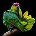 Lilacine Amazon Parrot Isolated On Black Backgro Poster by Photo by Steve Wilson
