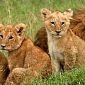 Lion Cubs - Too Cute Print by Nancy D Hall