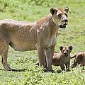 Lioness With Cubs Print by Carson Ganci