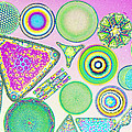 Lm Of Fossilized Diatoms Print by M. I. Walker