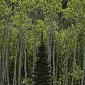 Lone Evergreen Amongst Aspen Trees Poster by Raymond Gehman