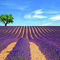 Lonely Tree On Lavender Field Poster by Martina Meglic
