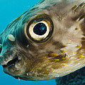 Long-spine Porcupinefish Diodon Print by Pete Oxford