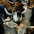 Longhorn Cattle Are Packed Print by Joel Sartore