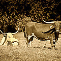Longhorn Cows Rsting in Monochrome Poster by M K  Miller