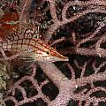 Longnose Hawkfish Hiding In Coral Poster by James Forte