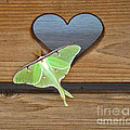 Luna Moth in Love Poster by The Kepharts