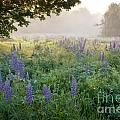 Lupine Field Poster by Susan Cole Kelly