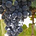 Malbec Grapes On The Vine Poster by Peter Langer
