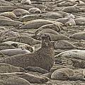 Male Elephant Seal Barking Amidst Poster by Robert Postma