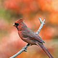 Male Northern Cardinal - D007810 Poster by Daniel Dempster