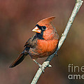 Male Northern Cardinal - D007813 Poster by Daniel Dempster