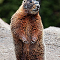 Marmot Rearing Up On Hind Legs In Yellowstone Poster by Trina Dopp Photography