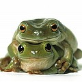 Mating Frogs Poster by Darwin Wiggett