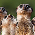 Meerkat Mob Poster by Julie L Hoddinott
