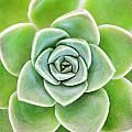 Mexican Snowball Succulent  Poster by Neil Overy
