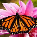 Monarch and Dahlia Print by Steve Augustin
