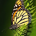 Monarch Butterfly Print by The Photography Factory