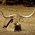 Monochrome Longhorn Cow Rsting in Grass Poster by M K  Miller