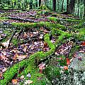Moss Tree Roots Fall Color Poster by Thomas R Fletcher
