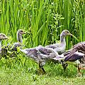 Mother goose leading goslings Poster by Simon Bratt Photography LRPS