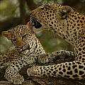 Mother leopard, Panthera Poster by National Geographic