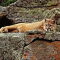 Mountain Lion Puma Concolor Lounging Poster by Gerry Ellis
