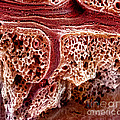 Mouse Lung, Sem Print by Science Source