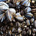 Mussels Poster by Justin Albrecht